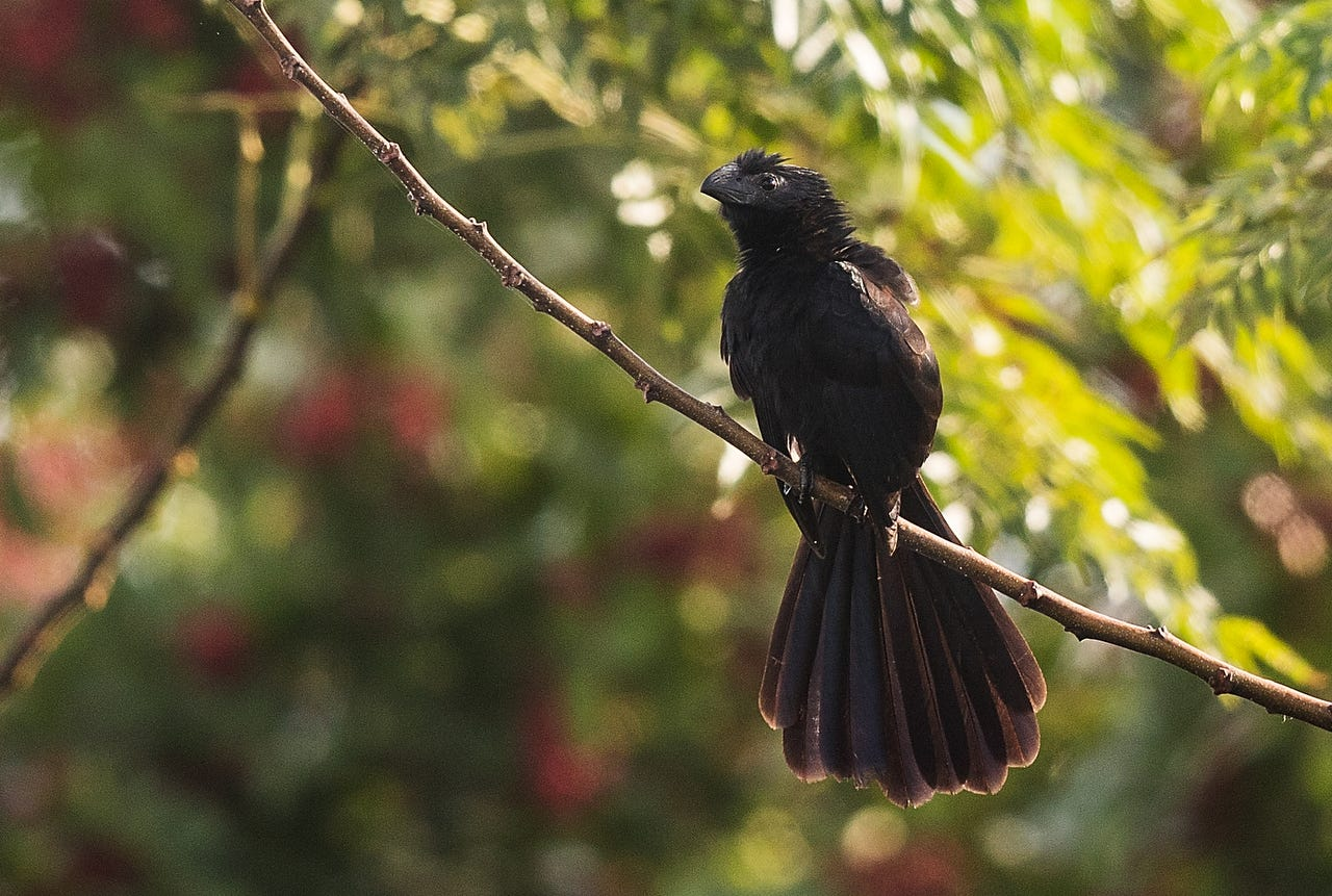 A groove billed ani makes appearance in Cape Coral , first one documented in SWFL