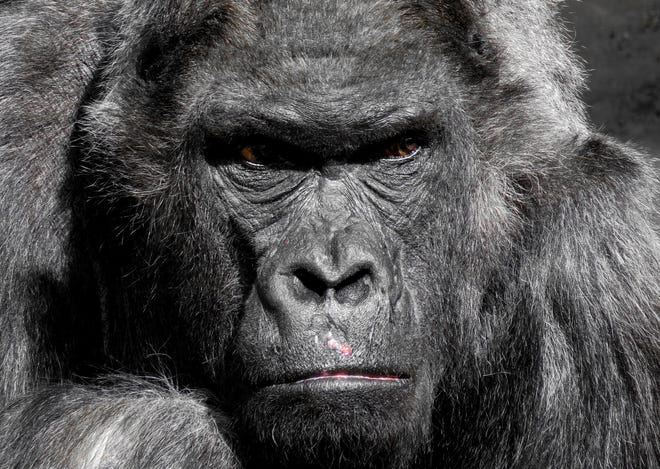 Two gorillas have tested positive for COVID-19 in San Diego.