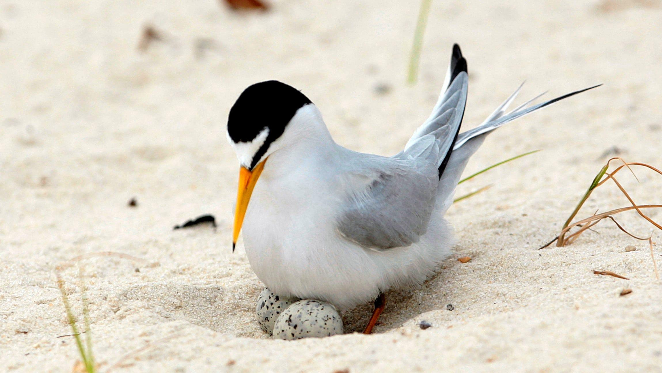 Interior least tern off endangered species list after near extinction