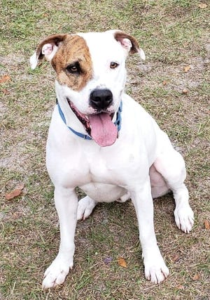 Ricky is a handsome 5-year-old male American Bulldog mix. He does great with other dogs and would do best in a home with older kids and no cats. Ricky does not do well in the kennel environment and would do best with meeting new people in our play yard. Ricky is a playful boy and is ready to meet you! Ask to see Ricky when you stop by.