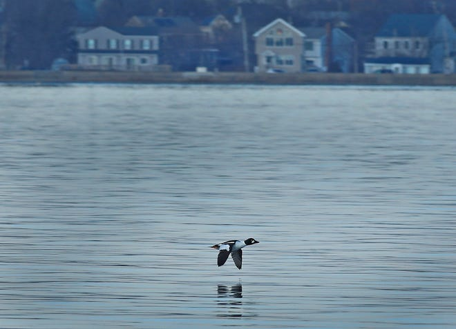 "On the wing, a""golden eye"" duck flies just over the water of the Fore River in Weymouth on Wednesday January 13, 2021 Greg Derr/The Patriot Ledger"