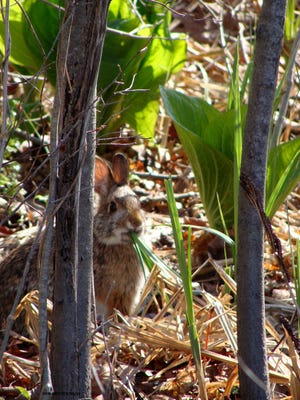 A New England cottontail in Cape Elizabeth, Maine. Photo by John Greene