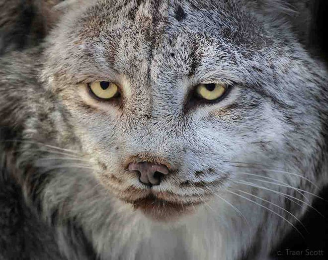 Calgary, a beloved Canada lynx, at Buttonwood Park Zoo has died.