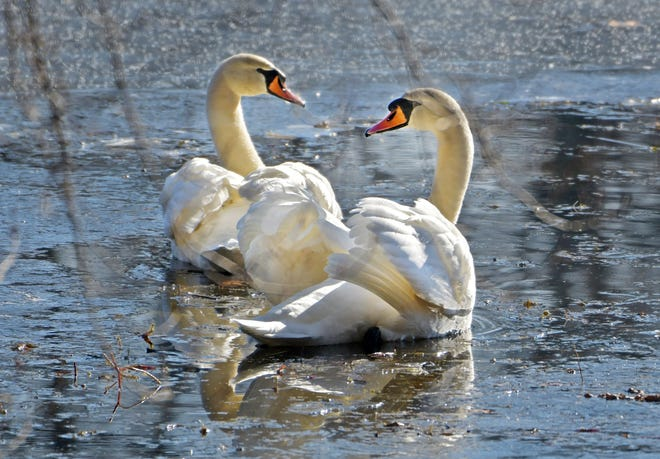 NORTHBRIDGE - Two swans swim Wednesday in open water on Whitin Pond along Main Street.