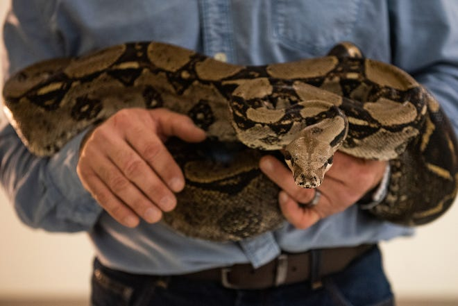 Biology teacher and owner of Reptile Encounters Mark Perpetua handles a boa constrictor in his classroom at Saugerties High School. A pet boa constrictor that became stuck behind the dashboard of a car in North Carolina needed the help of some animal control officers to wriggle free.