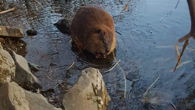 Beavers (Castor canadensis) grow continually throughout their lives and commonly reach up to 70 pounds! Here is an adult, seen near the Nature Center.