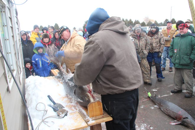 A crowd at a registration station in Stockbridge watches as a sturgeon is measured by Department of Natural Resources personnel during the 2014 spearing season.