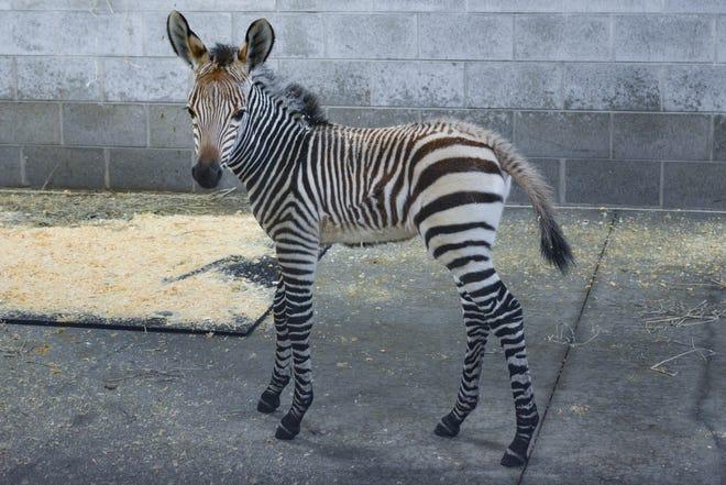 A newborn zebra arrived at the Racine Zoo on Dec. 24, 2020.