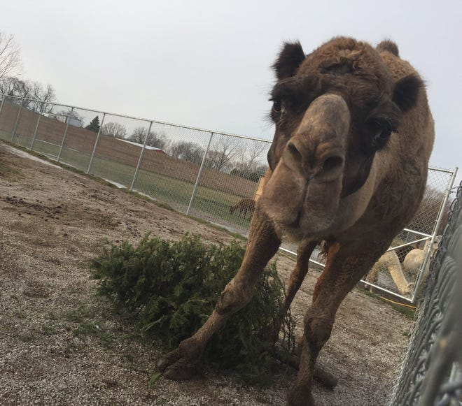 "A camel at the African Safari Wildlife Park appears to offer his own sort of ""thank you,"" following community donations of Christmas trees used for enrichment with the animals."
