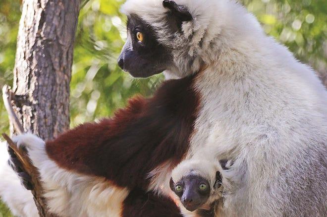 A baby Coquerel Sifaka lemur at the Sacramento Zoo.