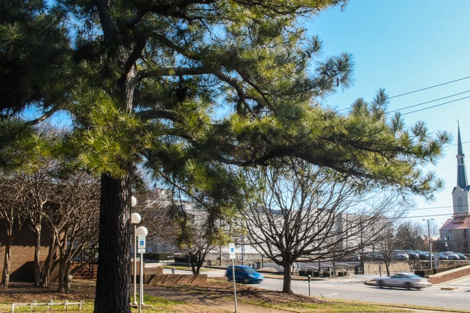 """A tree """"born"""" on the moon and planted in Athens is shown near the Dougherty Street Governmental Building in downtown Athens, Ga., on Wednesday, Jan. 13, 2021. (Photo/Chamberlain Smith for the Athens Banner-Herald)"""