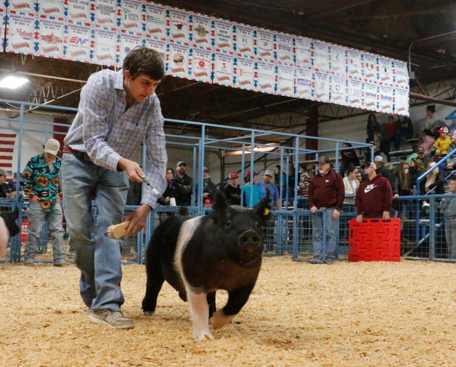 Blaze Cozart of the Early FFA shows his Hampshire swine in the Market Swine Division show Thursday morning as the Brown County Youth Fair continues.
