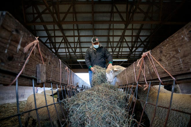Darian Poles, 21, a senior at Delaware Valley University, feeds sheep inside Delaware Valley University's Gemmill Animal Science Complex in Doylestown on Thursday, November 12, 2020.