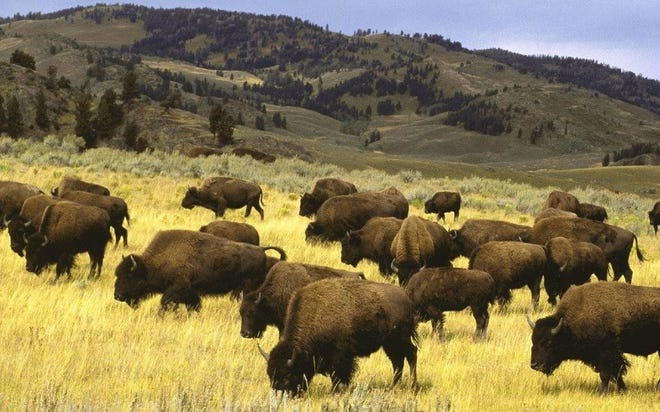 Modern bison, or American buffalo, grazing on the Great Plains.