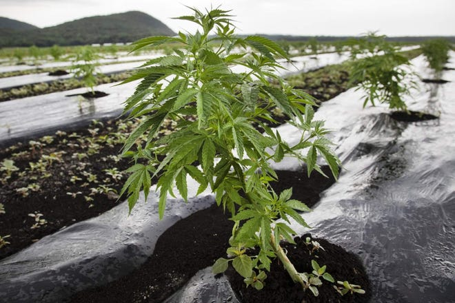 A young CBD hemp plant.