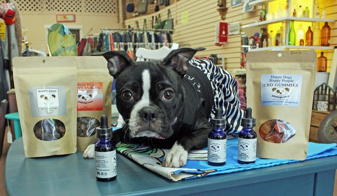Molly Mae, a Boston terrier, is the furry face of the Happy Dogs business.