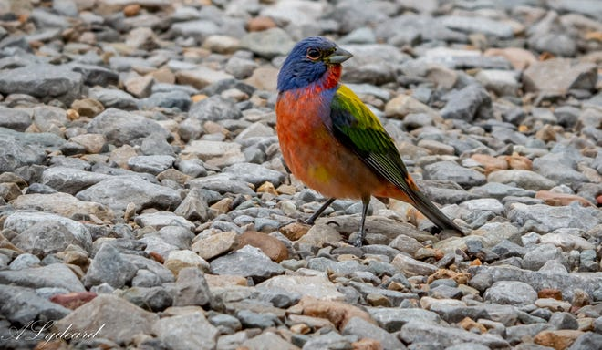 In several Southern states male painted buntings in springtime are one of the most colorful birds. [Photo by Andrew Lydeard]