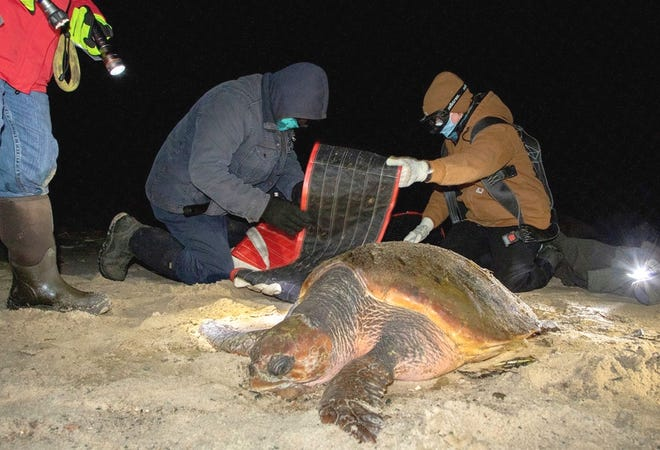 Rescuers prepare to move a stranded loggerhead off the beach. A new documentary features the turtle rescues on the Cape.
