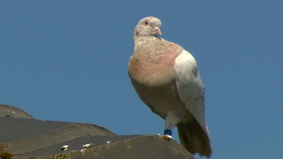 Australia to kill pigeon that crossed Pacific from Oregon 1