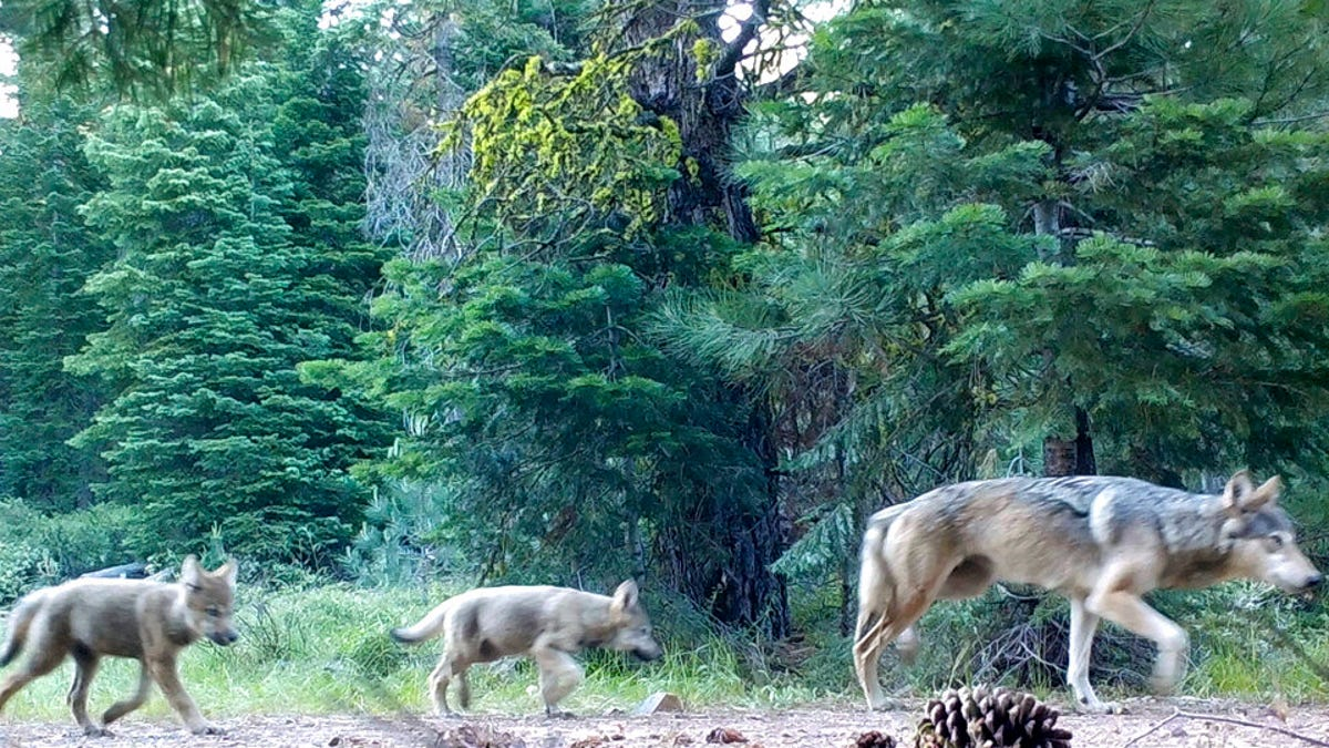 Groups ask court to restore protections for US gray wolves 1