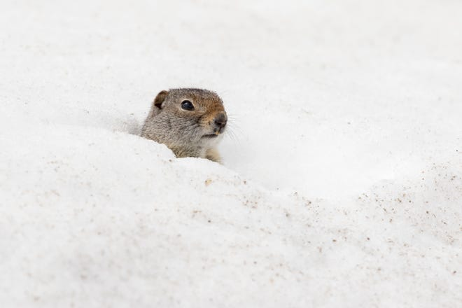 Uinta ground squirrel peeks out of a deep snow burrow in early spring.