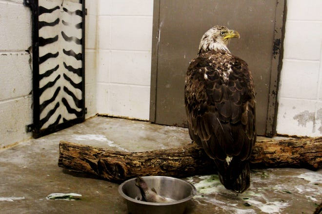 An adolescent eagle recovers after the animal hospital at Dickerson Park Zoo discovered high levels of lead in its system.