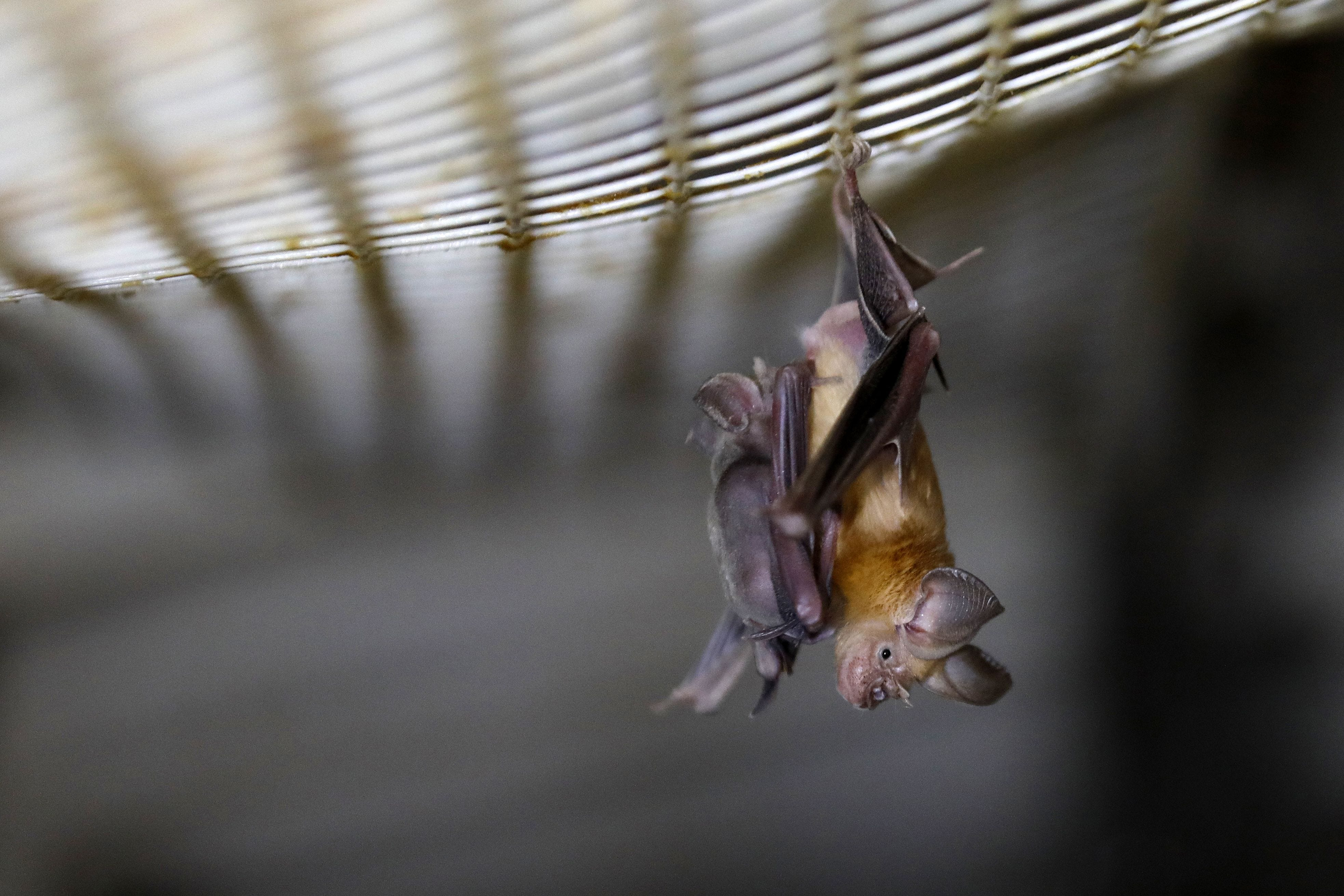 A horseshoe bat hangs from a net inside an abandoned Israeli army outpost next to the Jordan River in the occupied West Bank, on July 7, 2019.