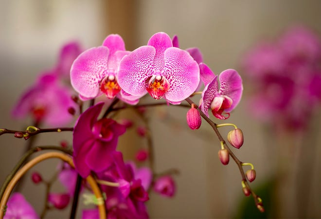 """Don't Throw That Orchid Away"". Did you receive an orchid as a gift? Maybe you saw them at the grocery store and wondered if you could keep it alive. Allison Watkins will give you all the information you need to try your hand at growing these beauties during a February seminar."