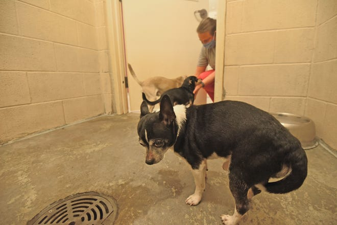 Toni Ross, operations manager at the Humane Society of Richland County, gives three dogs attention Friday after they were removed from a neglect situation.