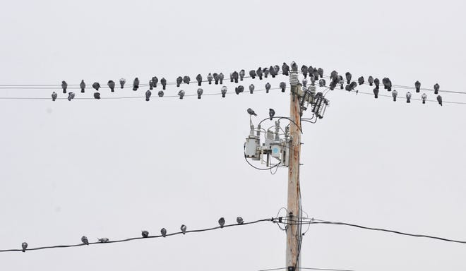 The Provincetown pigeons form up looking like a line of sheet music overlooking MacMillan Wharf.