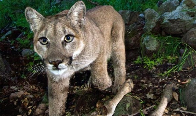 This photo of a mountain lion was taken from a remote camera in the Santa Monica Mountains National Recreation Area in California. Oklahoma wildlife officials confirmed seven sightings of mountain lions in the state last year, more than any previous year.
