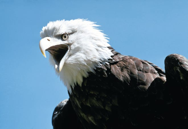 Frequently more than 2,000 eagles are tallied during the state's annual mid-winter eagle count, which is conducted by the Missouri Department of Conservation each January.