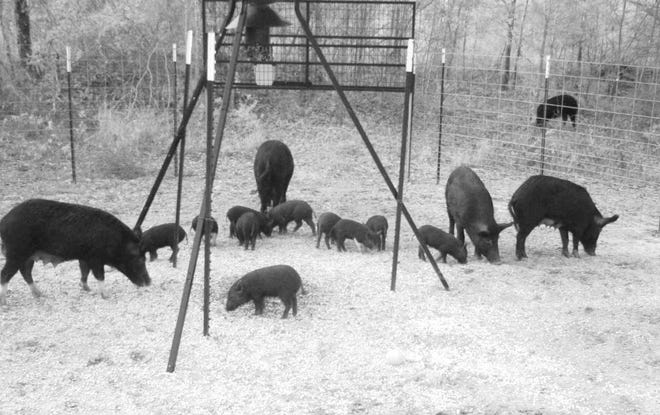Feral hogs, such as these, not only damage property but can also contaminate natural streams.