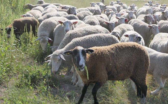 Two lambs graze in a pasture at Blazefork Farm Fresh Lamb in Inman.