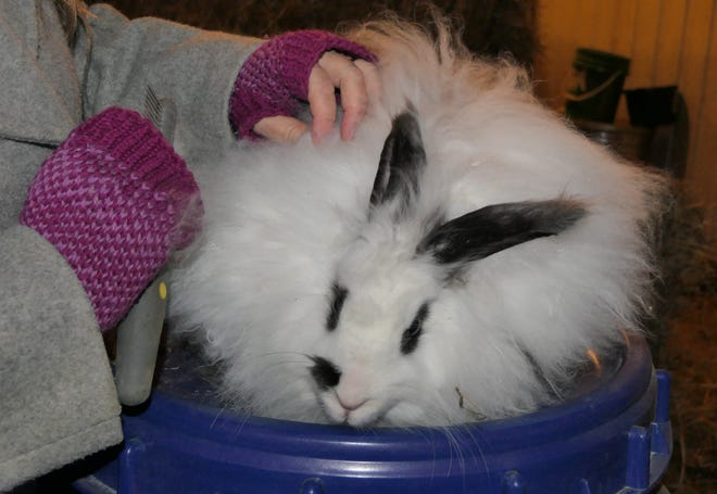 Collen McGee brushes fiber from one of her French Angora rabbits on her farm, Rowantree Farm in Abilene.