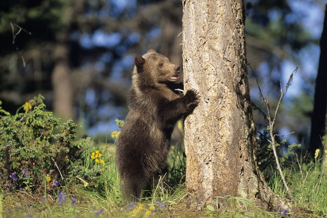 Bear populations sustained a record hunting year in New Hampshire and Vermont in 2020.