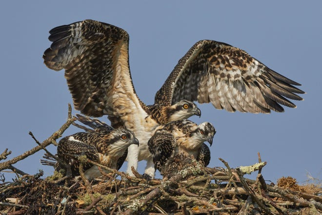 Osprey will return to the Cape in March. Pictured, an Osprey adult with its young.