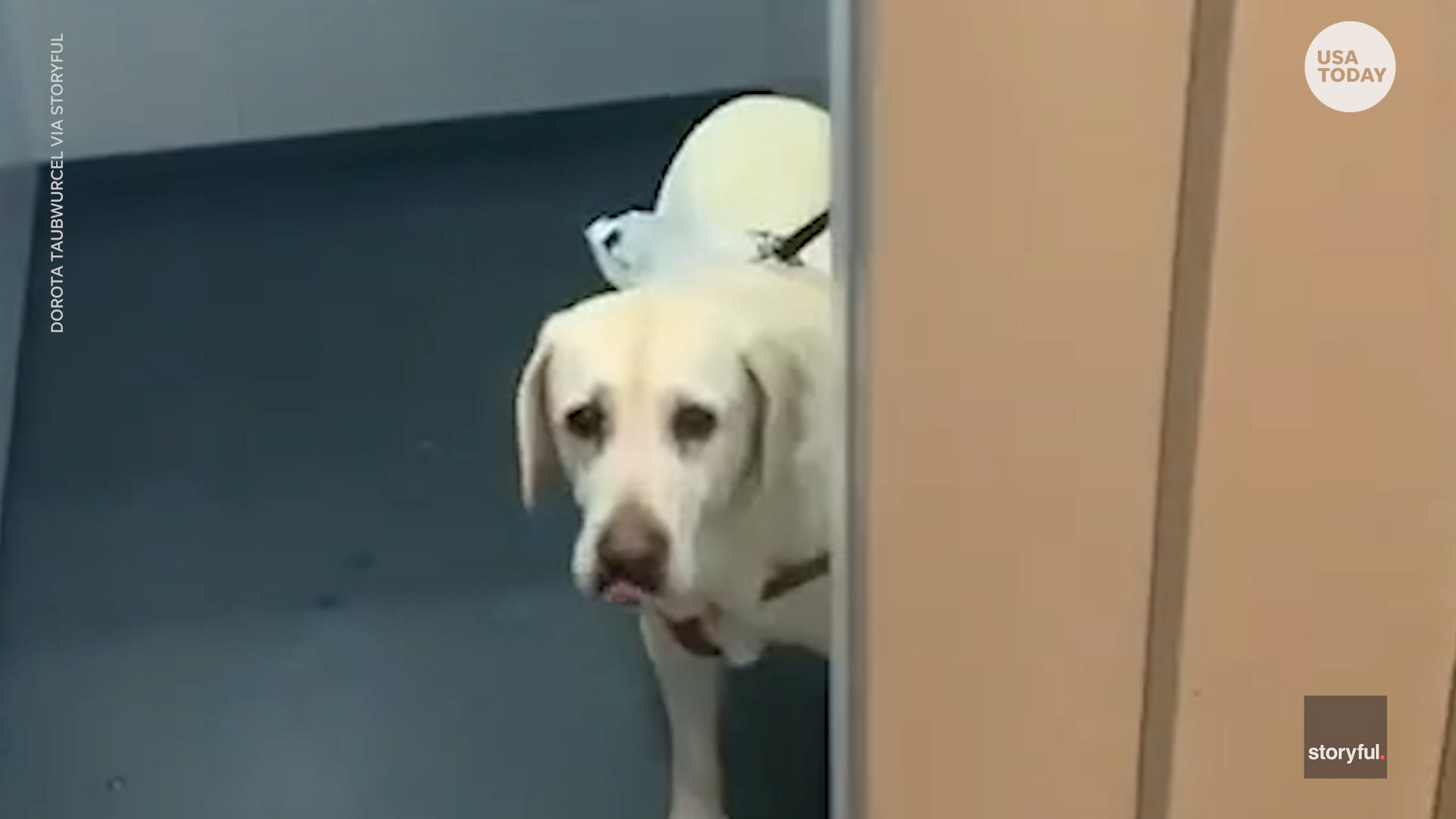 This dog arrived in elevator for a walk by a neighbor while the owner has COVID