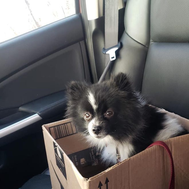 Noel, the 2-year-old Pomeranian, is safe at home again after surviving 21 days in the wilderness of Independence and Hopewell townships.