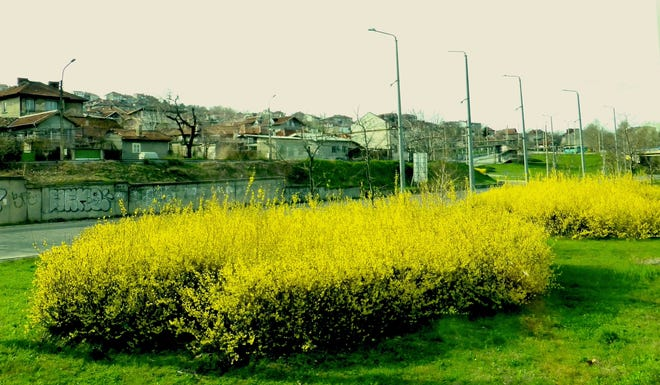 Blooming Forsythia shrubs in central Bucharest, Romania have been pruned into a hedge. Forsythias are always pruned in late spring or summer following their showy floral display.