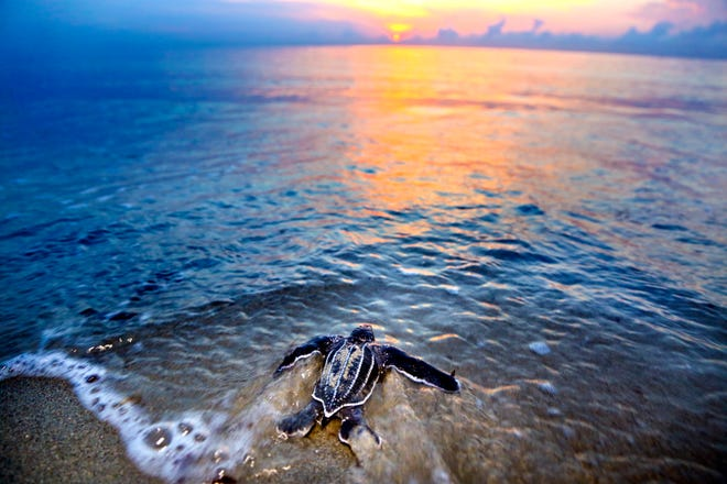 A leatherback hatchling enters the ocean at Juno Beach after being released near the Loggerhead Marinelife Center.
