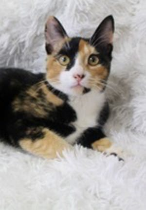 Skittles, a young female calico and American shorthair mix, is available for adoption from Wags & Whiskers Pet Rescue. Routine shots are up to date. Call 904-797-6039 or go to wwpetrescue.org to see more pets.