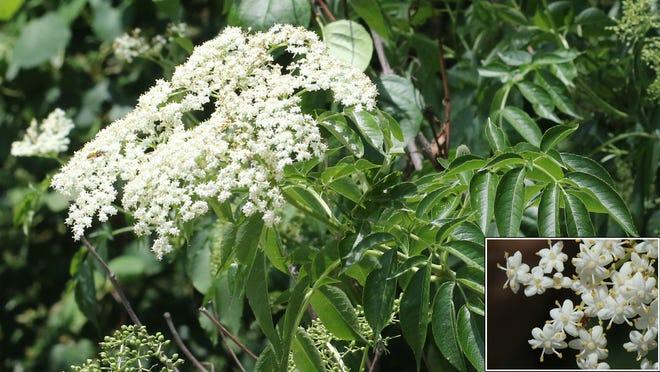 Common elderberry.