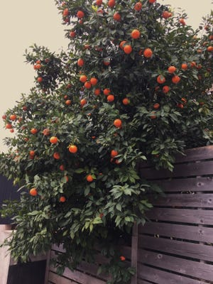 Pick the right variety of orange tree and be ready to protect it during winter freezes.