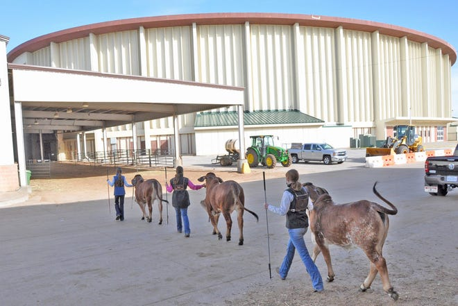 Exhibitors lead their heifers from the stalling barns to the arena at the Oklahoma City Fairgrounds for the junior Brahman show, one of the final events held in conjunction with the first-ever Cattlemen's Congress in Oklahoma City. Exhibitors from 44 states showed cattle representing 33 different breeds. Organizers say the 12,000 head of entries exceeded the numbers at last year's National Western Stock Show, which was postponed for a year due to the coronavirus pandemic.