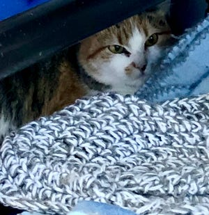 The Boone Area Humane Society offers a Barn Cat program, which gives feral or semi-feral cats a chance to find a safe home. Pictured is Cassandra who prefers the company of other cats to people. These barn cats are free to adopt.