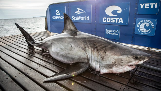 Great white shark Edithe