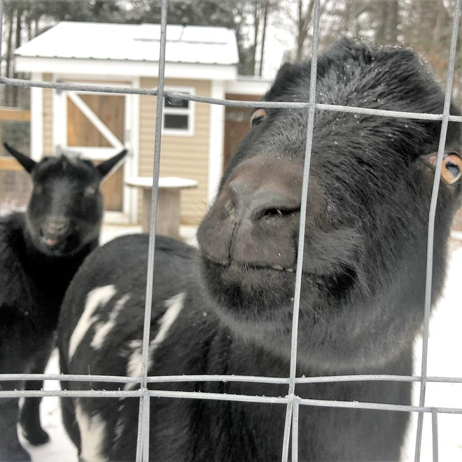 These Dwarf Nigerian goats entertain the community at RiverWoods in Exeter. They and a beekeeping program are part of a long-range effort to connect the residents with nature, and to leave a greener footprint.