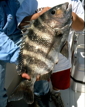 Looking for sheepshead? There has been an excellent bite for them just outside the St. Lucie Inlet and fish up to 10 pounds are being caught around the Boynton Inlet.