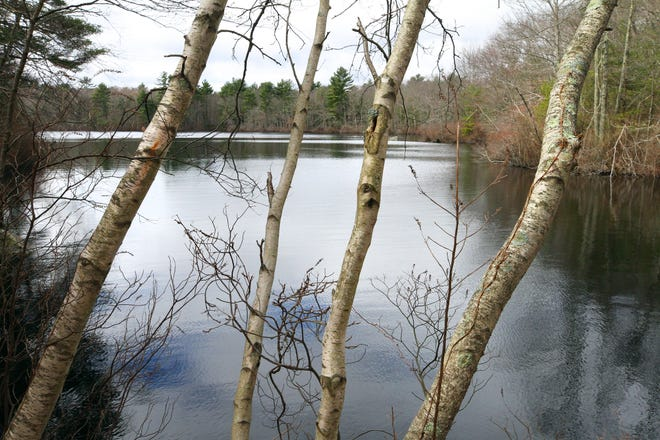White birch trees near the banks of Carr Pond, the centerpiece of the 295-acre Maxwell Mays Wildlife Refuge in Coventry.